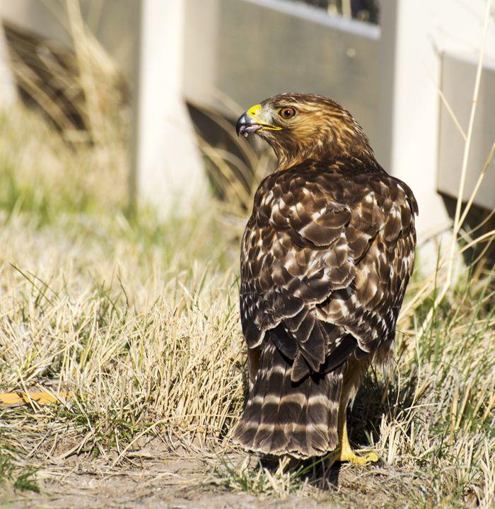 Red Shouldered Hawk - Jason Lighthall Photography