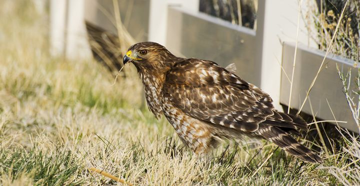 Red SHouldred Hawk - Jason Lighthall Photography