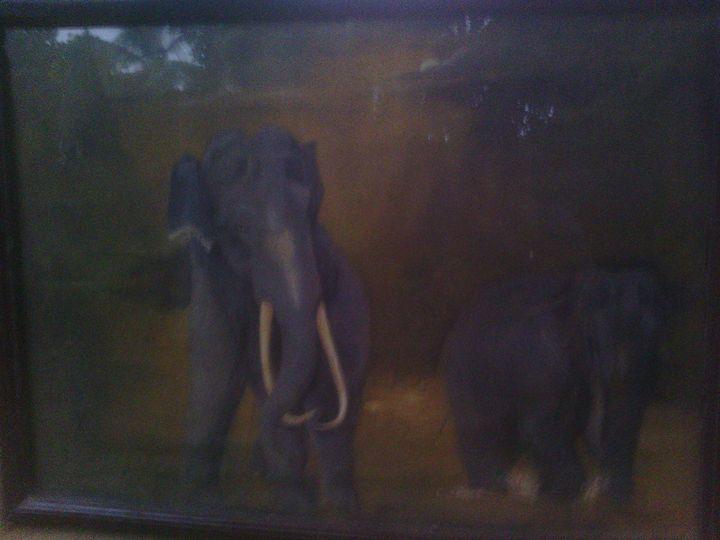 elephant -  Nuwandisanayaka25