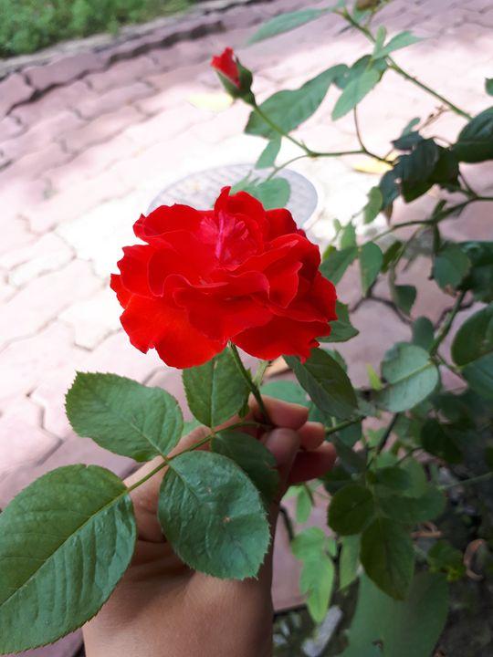Nice Rose - Jenny