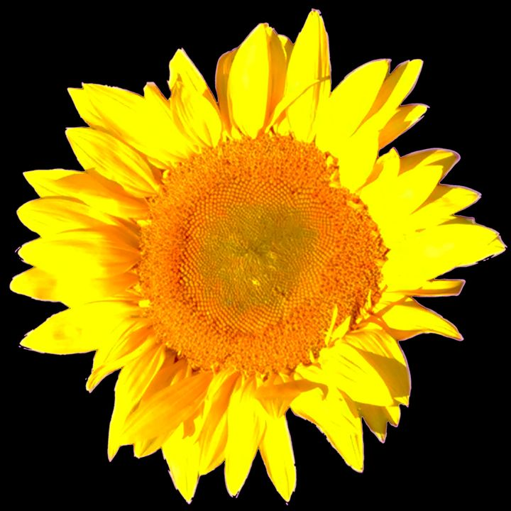 Sunflower by Doug Van Scoik - Doug's Manly Stuff
