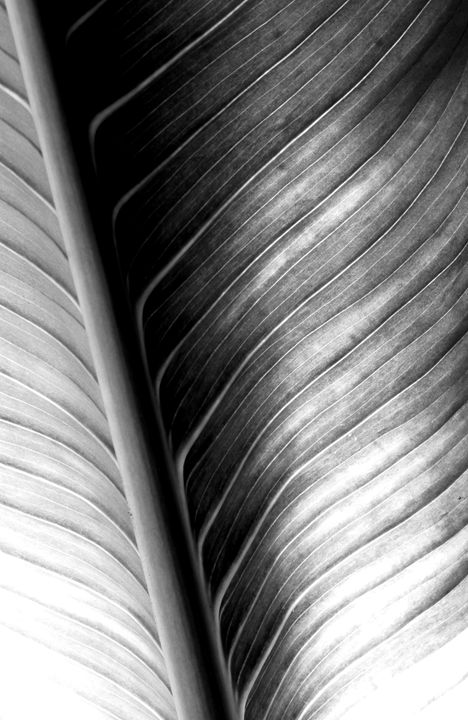 Peace Lily Leaf - DANIEL RAVEL PHOTOGRAPHY