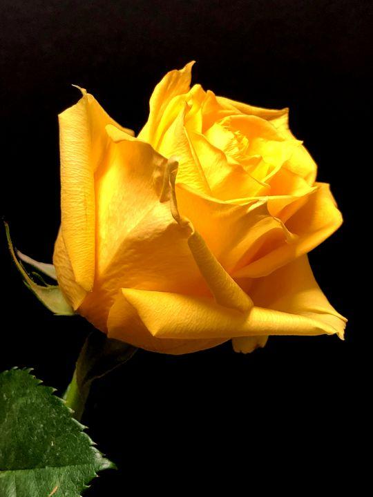 Yellow Rose - DANIEL RAVEL PHOTOGRAPHY