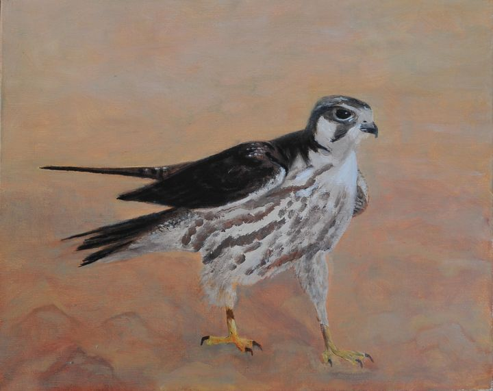Lanner Falcon - Kgalgadi, Botswana - Suzanne Leighton