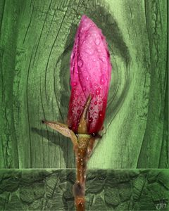 Magnolia Bud on Fence - Gypsy Light Photography