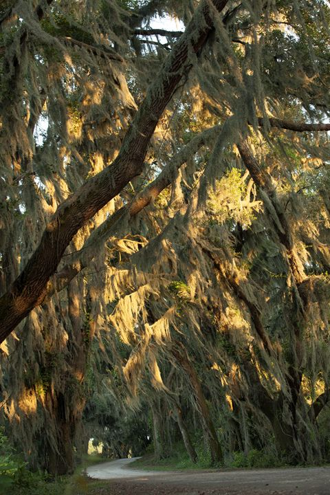 Spanish Moss in the Sun - Gypsy Jos Art