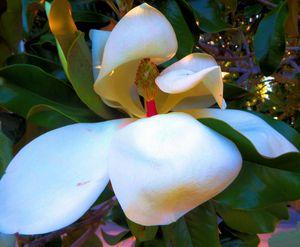 painnt magnolia