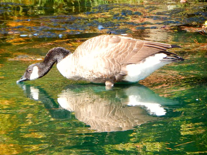 Canada Goose Reflected - Bev's Takes