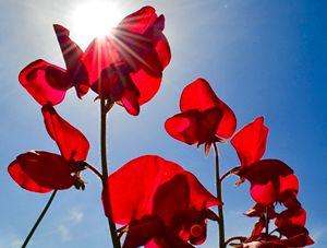 Sunburst Through Red Petals