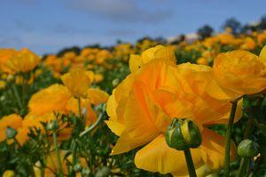 Field of Orange Blossom