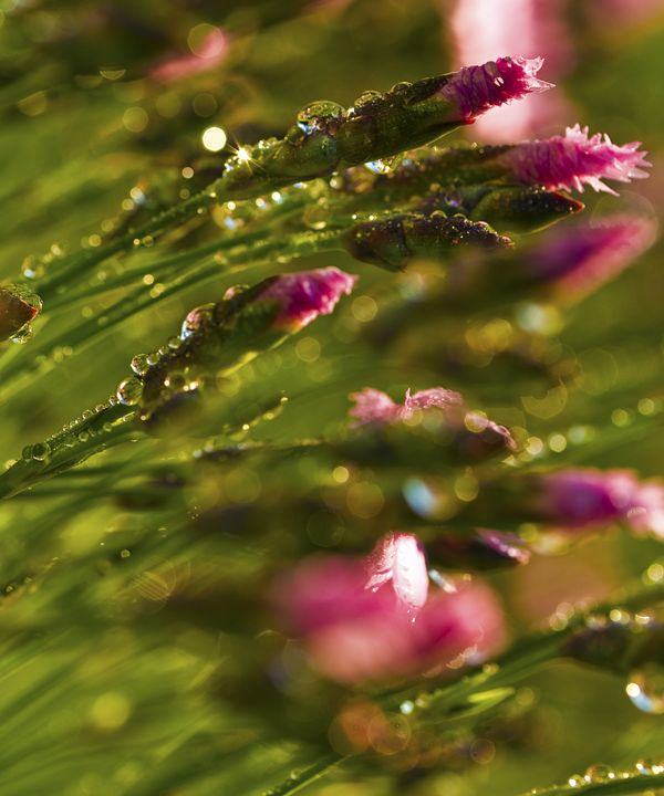 Dew Kissed Dianthus 2 - Snaps Drops