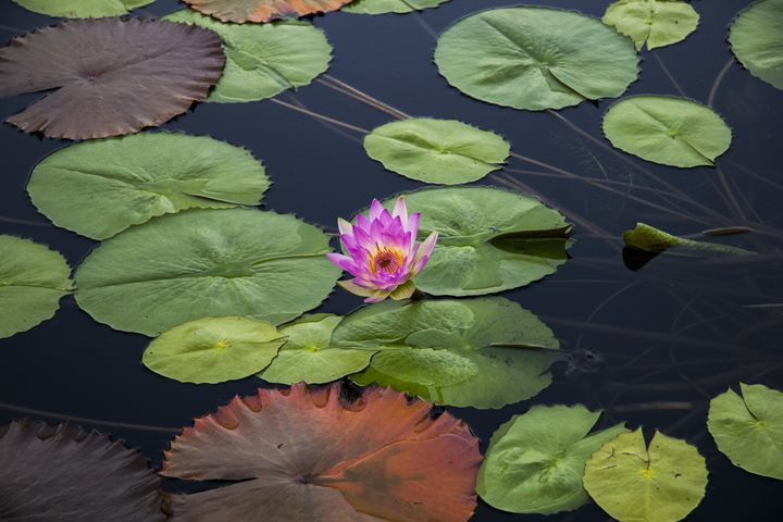 Pink Water Lily - TK Graphics