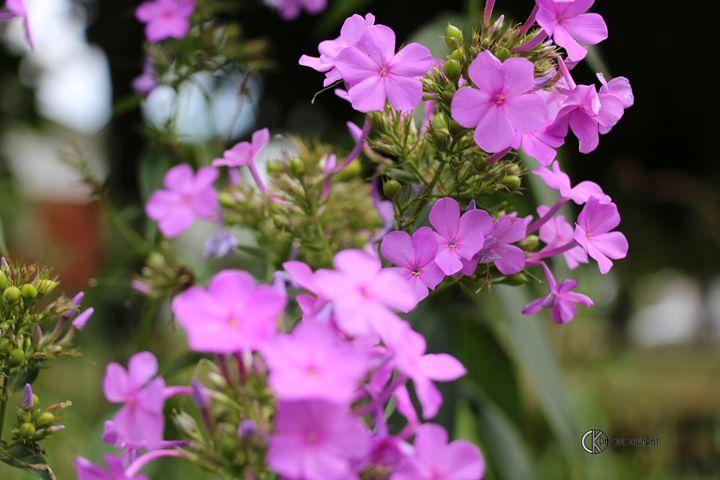 Pink Phlox - CK Photography