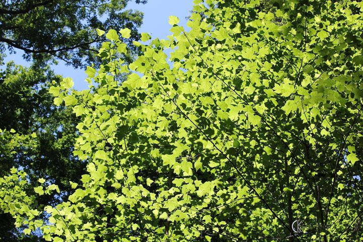Tulip Poplar in Sunlight - CK Photography