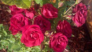 multiple bloom