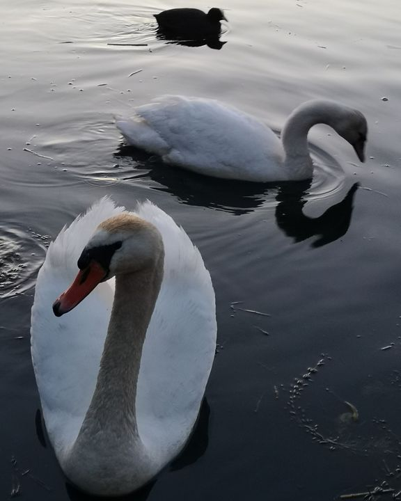Swans - Huckgallery