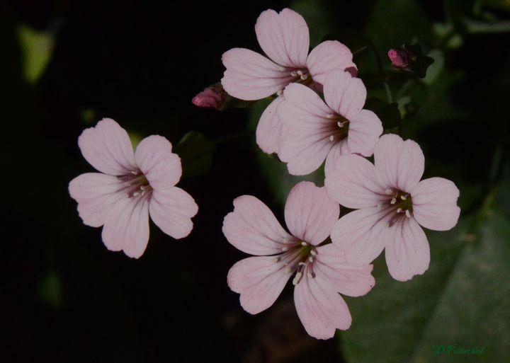 Five Delicate Pink Beauties - Fine Art by Debby