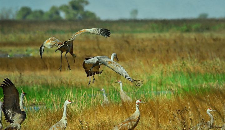 Dance of the Two Sandhill Cranes - Fine Art by Debby