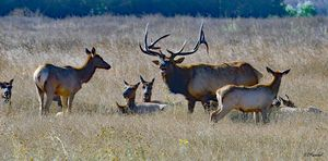 Elk and His Harem and Family - Fine Art by Debby