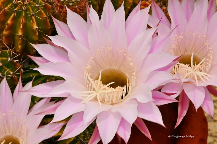 Cactus Flower in the Back Yard - Fine Art by Debby