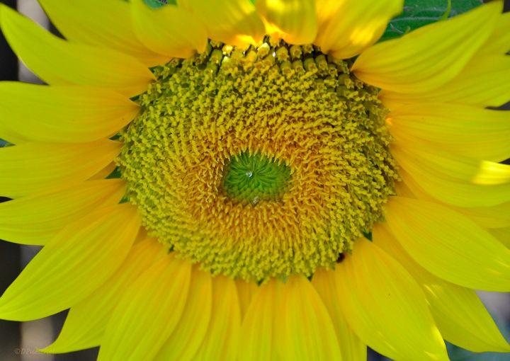 Sunflower - Fine Art by Debby