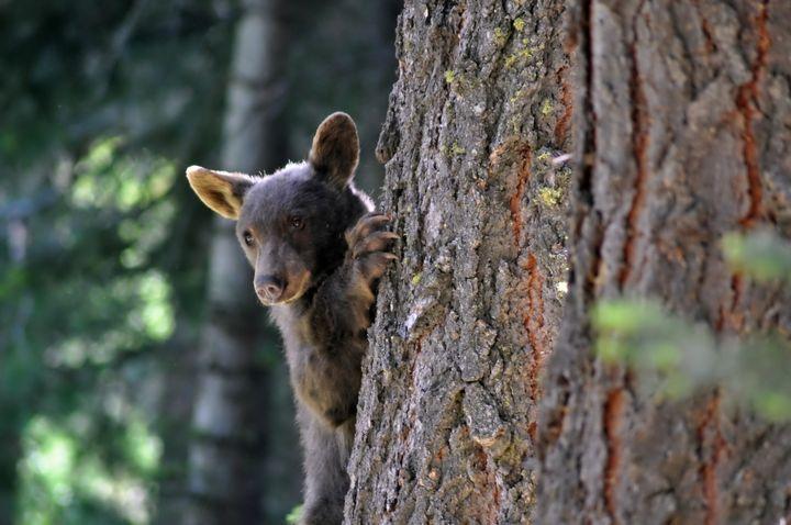 Cub in the Tree - Fine Art by Debby