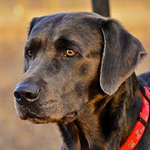 Silver Labrador Retriever - Deane Photography