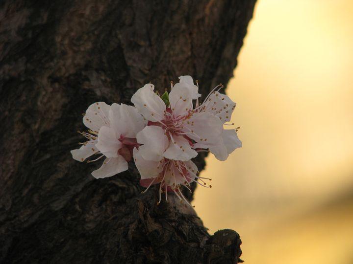 Cherry blossom - 3 - Sanar Gallery