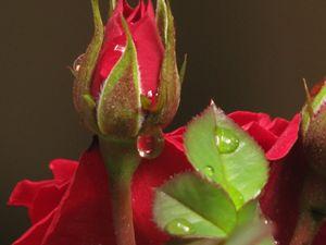 Rose gemma