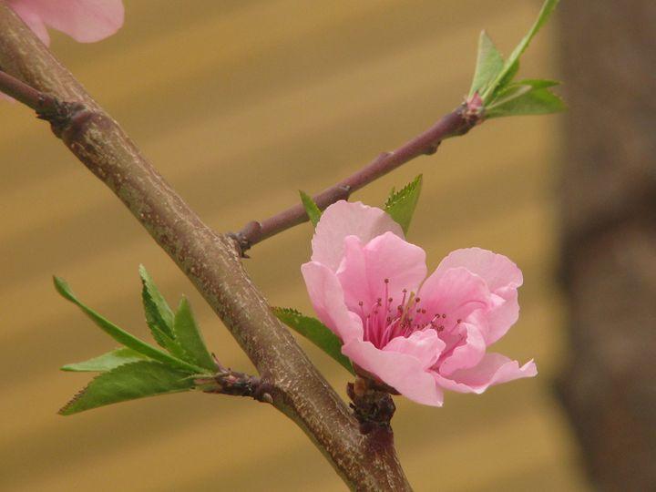 Cherry blossom - 2 - Sanar Gallery