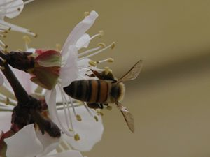 Bee & Cherry blossom
