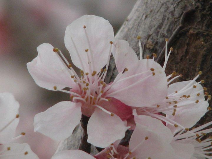 Cherry blossom  - 1 - Sanar Gallery