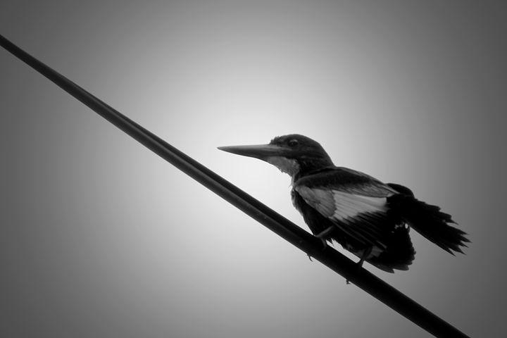 kingfisher - A.R ART PHOTOGRAPHY