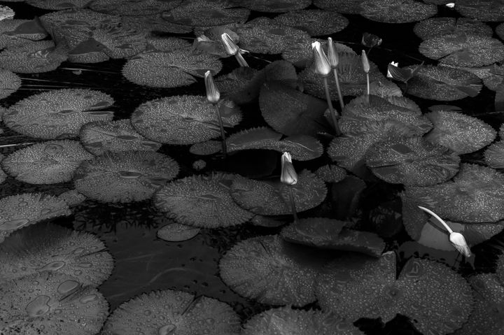 Raindrops over water lily - Walter Otto