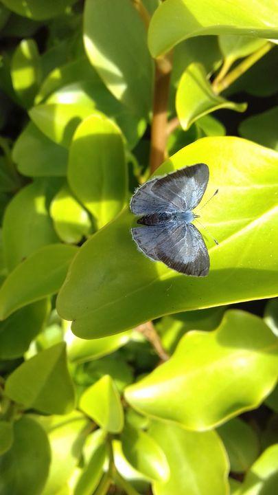 Blue Butterfly - Sam