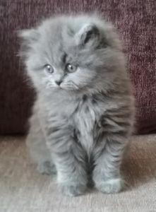 Blue British longhair kitten