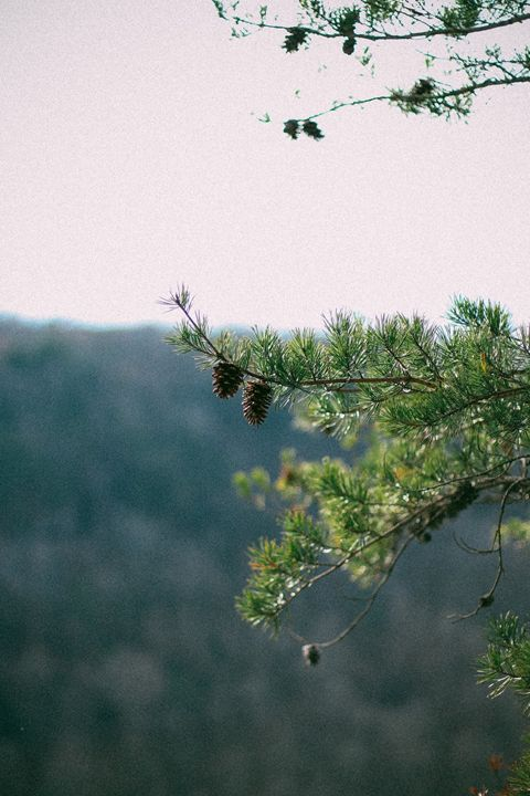 Pine Cones - Torrin Nelson Photography
