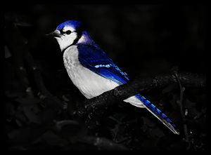 Blue Jay Portrait - D. van Doorn