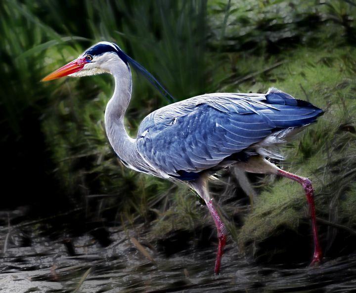 Grey Heron - D. van Doorn