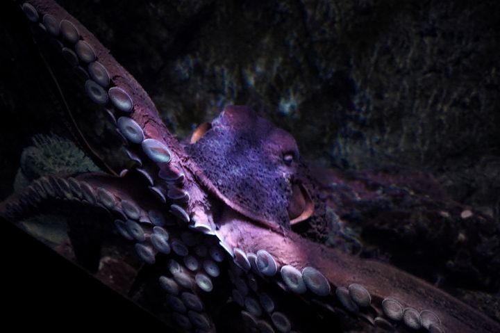 Octopus - D. van Doorn