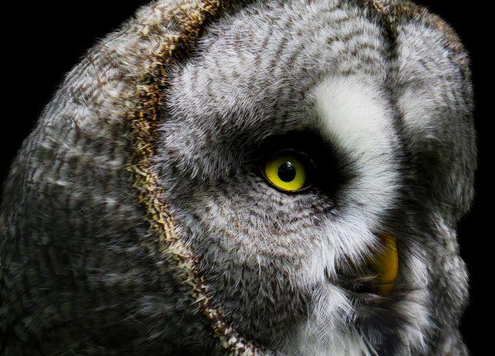 Owl Portrait - D. van Doorn