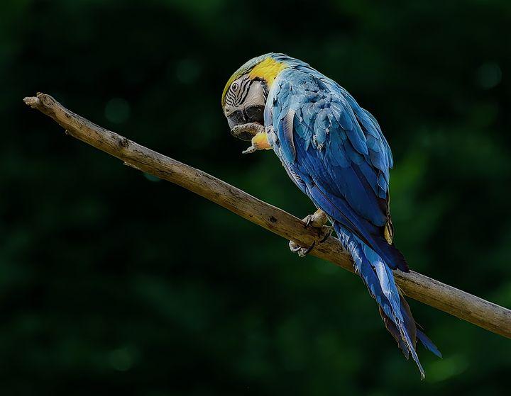 Parrot - D. van Doorn