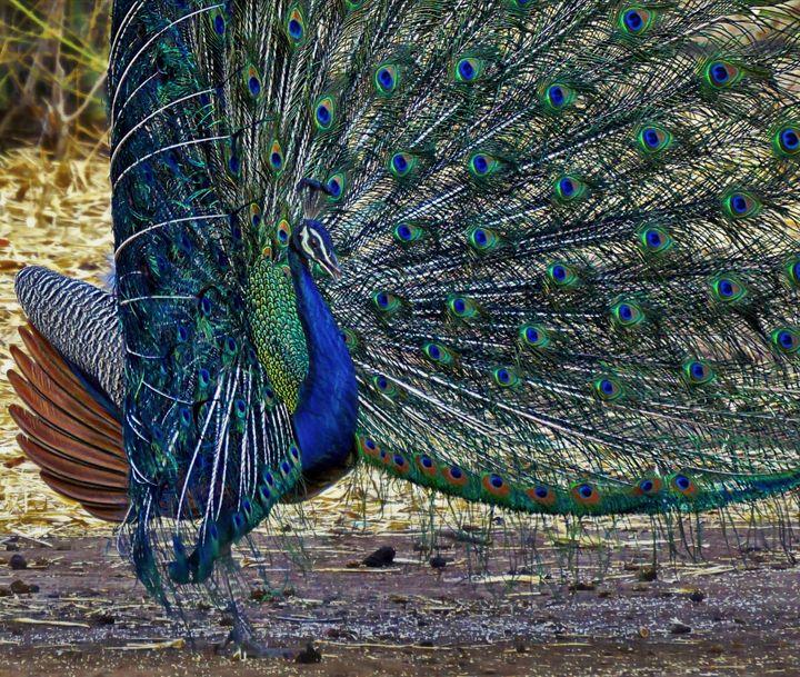 Pretty Peacock - D. van Doorn