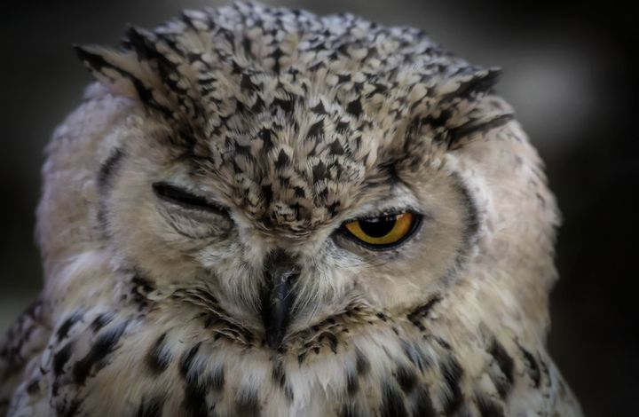 Winking Owl - D. van Doorn