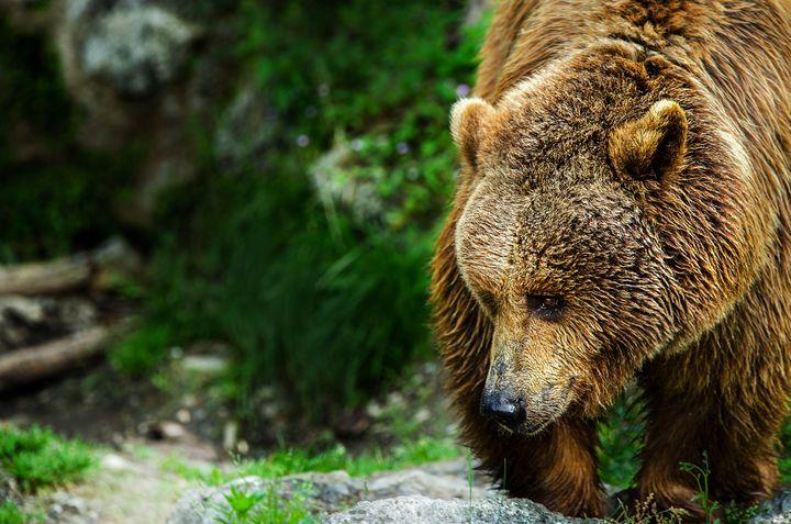 Bear Portrait - D. van Doorn