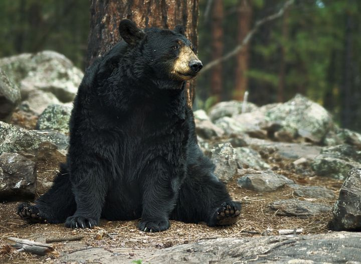 Black Bear Portrait - D. van Doorn