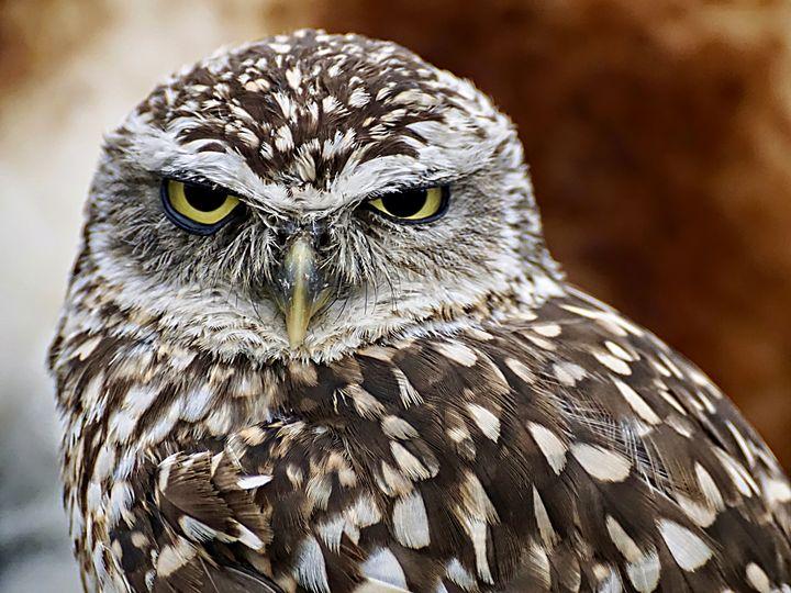 Burrowing Owl - D. van Doorn