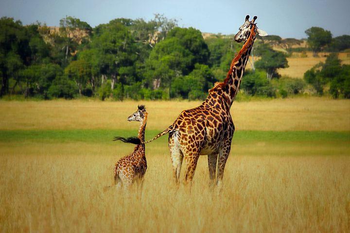 Giraffe Family - D. van Doorn
