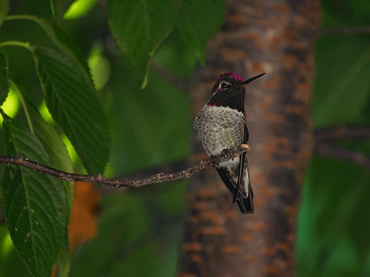 Hummingbird - D. van Doorn