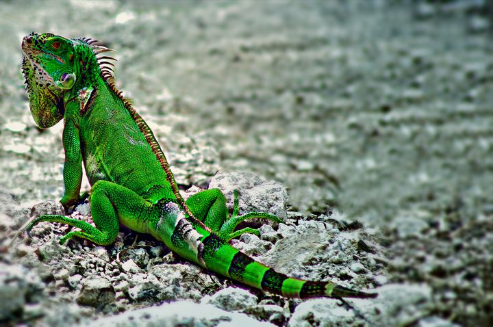 Iguana - D. van Doorn